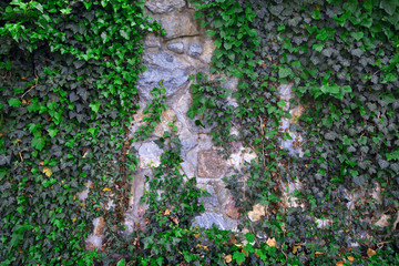 Fototapeta Struktura ściany Old stone wall covered by green ivy leaves
