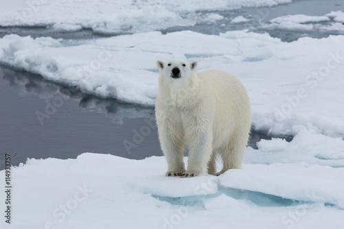 Staande foto Ijsbeer Eisbär, Eisbären, Packeis, Eis, Spitzbergen, Norwegen, Tier, Säugetier, Wasser