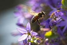 Closeup Of A Western Honey Bee Or European Honey Bee (Apis Mellifera) Feeding Nectar Of Purple Bellflower Campanula Flowers