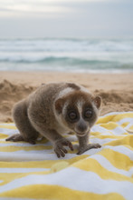 Slow Loris Monkey Sitting On The Towel Isolated On The Beach.