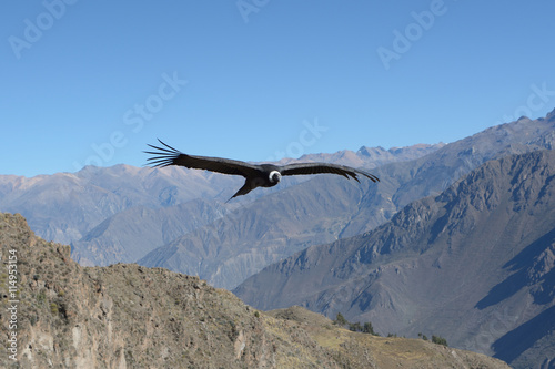Photo Flying Andean condor in canyon Colca