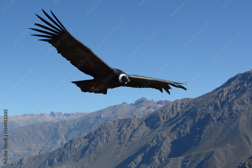 Flying Andean condor in canyon Colca