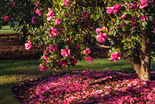 Pink Camellia Shrub In Bloom