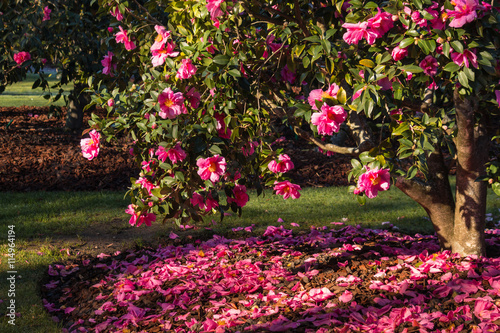 Fotomural pink camellia shrub in bloom