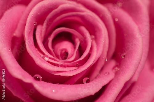 fototapeta na drzwi i meble Pink rose macro