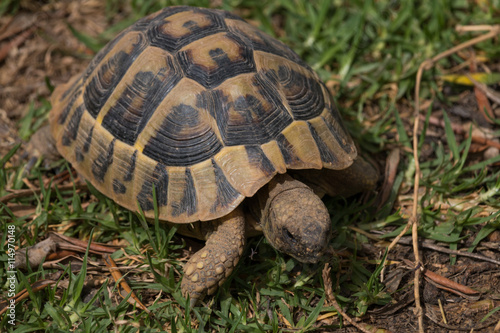 Poster Tortue Hungry turtle eating green lettuce