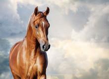 Chestnut Arabian Horse Portrait