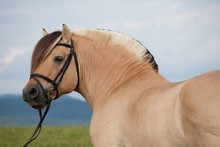 Portrait Of Nice Fjord Horse