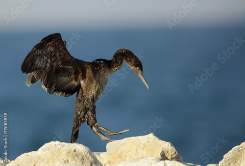 The Socotra cormorant trying to fly