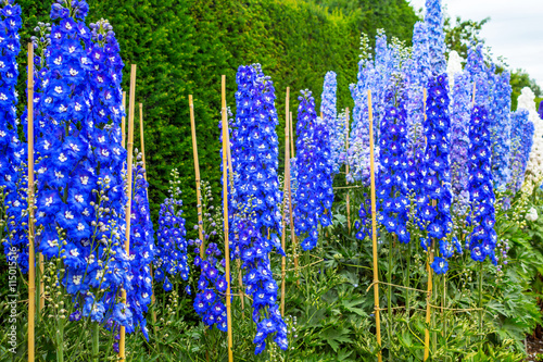 Tableau sur Toile Blue delphinium blossom in the garden