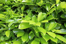 Bright Green Bush With Succulent Leaves Of Laurel