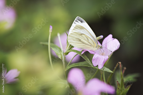 Poster Butterfly Witte vlinder