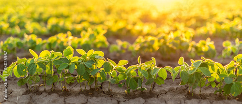 Fototapeta Soybean field ripening at spring season, agricultural landscape obraz