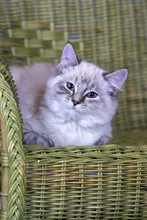 Curious Silver Tabby Kitten Sitting In Wicker Chair, Watching