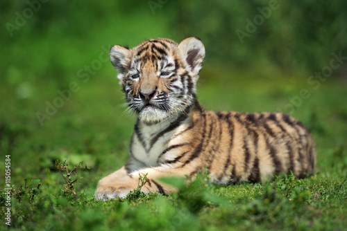 In de dag Tijger adorable amur tiger cub posing on grass