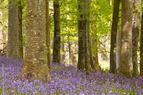 Foto op Canvas Bestsellers Blooming bluebells in Northern Ireland