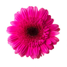 Single Pink Gerbera Flower Isolated On White Background