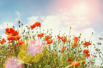 Red poppy flowers in a morning sunlight
