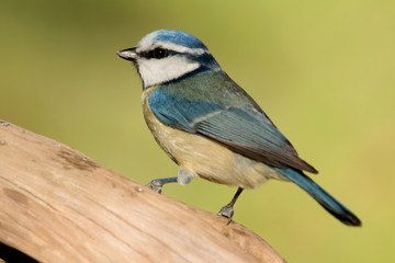 Nice tit with blue head looking up