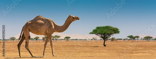 Photo sur Aluminium Chameau Desert landscape with camel