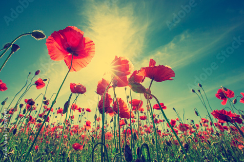 plakat Poppy Flowers