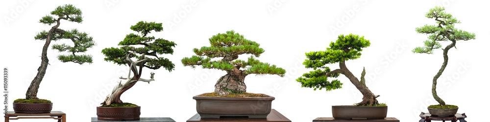 Fototapety, obrazy: Bonsai Bäume Nadelbäume aus Japan