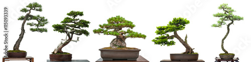 Photo sur Aluminium Bonsai Bonsai Bäume Nadelbäume aus Japan