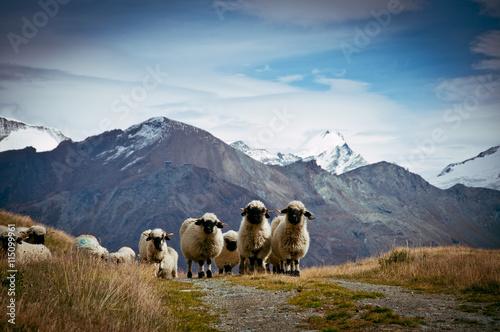 Keuken foto achterwand Schapen Flock of Blacknosed Swiss sheeps (Ovis aries), Swiss Alps