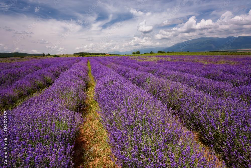 Fototapeta Lavender field at the end of June, near Kazanlak, Bulgaria - obraz na płótnie