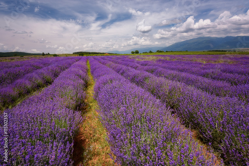 Fototapeta Lavender field at the end of June, near Kazanlak, Bulgaria obraz na płótnie