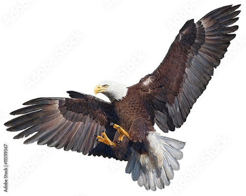 Garden Poster Eagle Bald eagle flying swoop hand draw and paint on white background vector illustration.