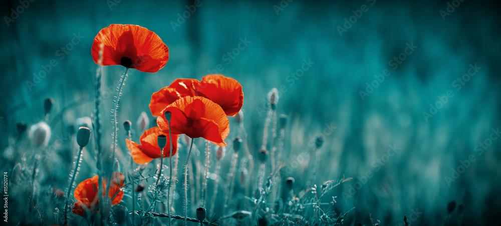 Fototapety, obrazy: Amazing poppy field . Summer flowers .