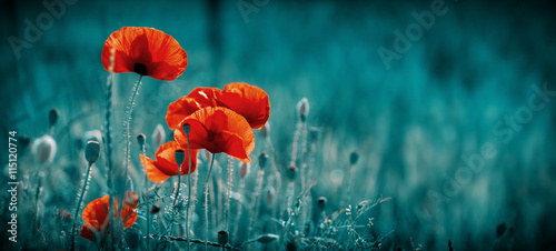 Fotografie, Obraz Amazing poppy field . Summer flowers .