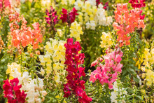 Colourful Snapdragon Flowers I...