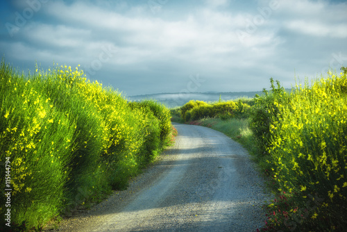 Fotografia, Obraz Yellow forsythia bushes growing wild by dirt roads.