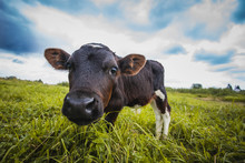 Calf Grazing On The Meadow