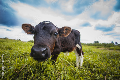 calf grazing on the meadow Fotobehang