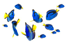 Blue Tang Fish, Marine Life Is...
