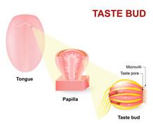 Human Tongue, Lingual Papillae...