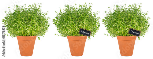 row of thyme herbs in pot reihe thymian kr uter pflanzen in topf kaufen sie dieses foto und. Black Bedroom Furniture Sets. Home Design Ideas