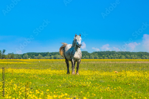 White horse on green field in spring in nature park Lonjsko polje, Croatia