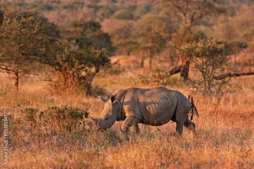Deurstickers Luipaard white rhinoceros , ceratotherium simum