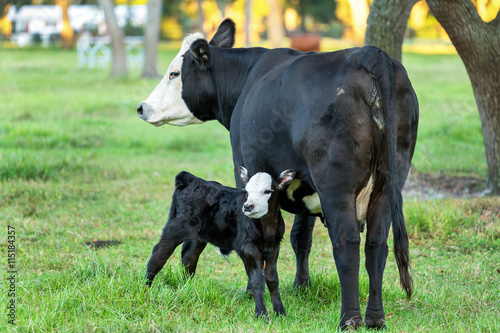 фотография  Calf or baby bull angus black with white face and tongue sticking out standing n