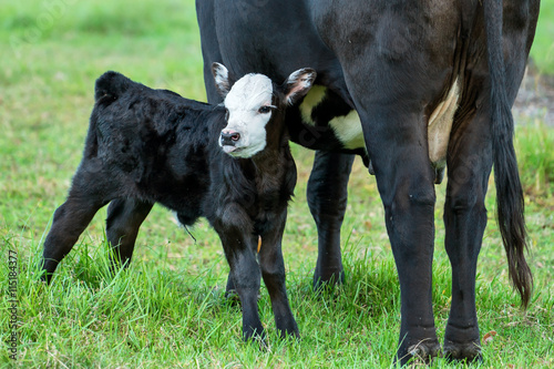 Photo  Calf or baby bull angus black with white face and tongue sticking out standing n