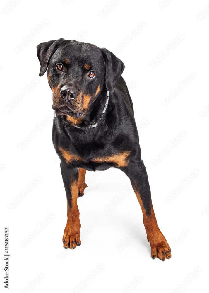 Fotografía Beautiful Rottweiler Dog Over White | Europosters.es