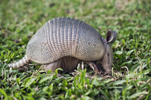 Armadillo Searching For Food I...