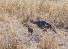 Wild Turkey Hen With One Chick