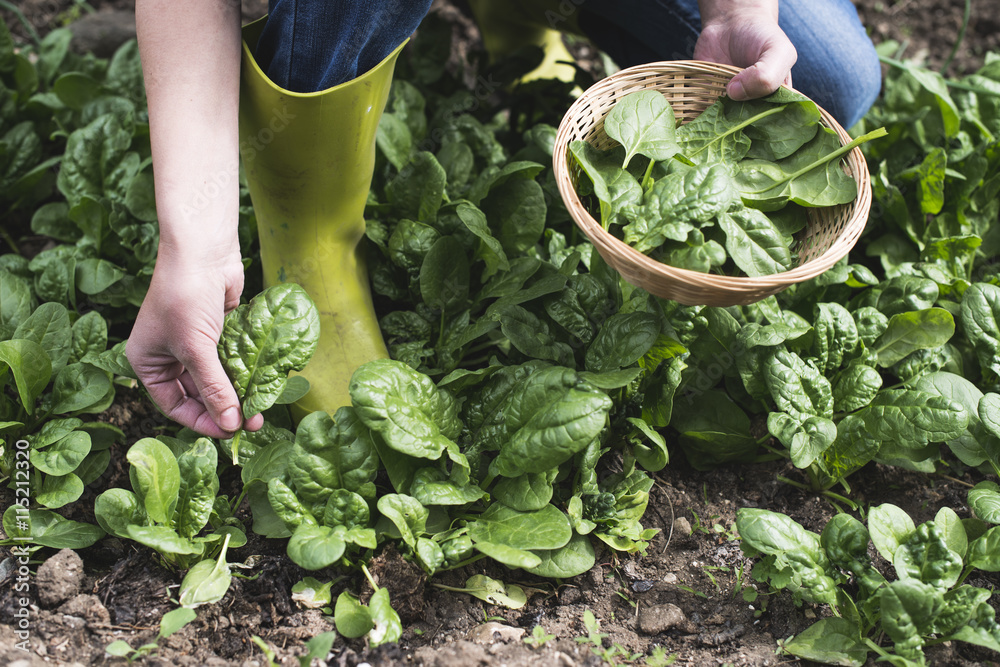 Fototapety, obrazy: Picking spinach in a home garden
