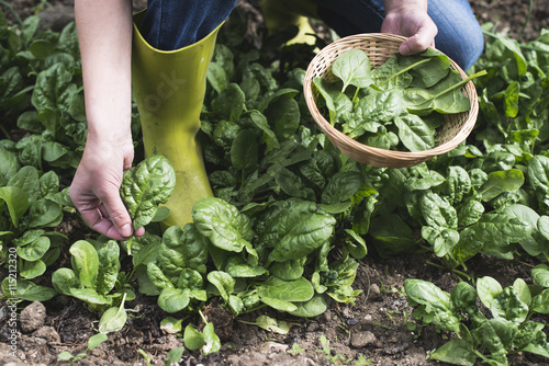 Foto Picking spinach in a home garden