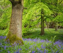 Bluebells, Harewood House, Near Harrogate, North Yorkshire, Yorkshire
